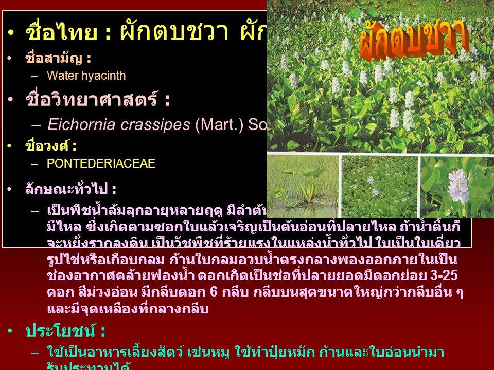 ผักตบชวา ชื่อไทย : ผักตบชวา ผักป่อง สวะ ชื่อวิทยาศาสตร์ :