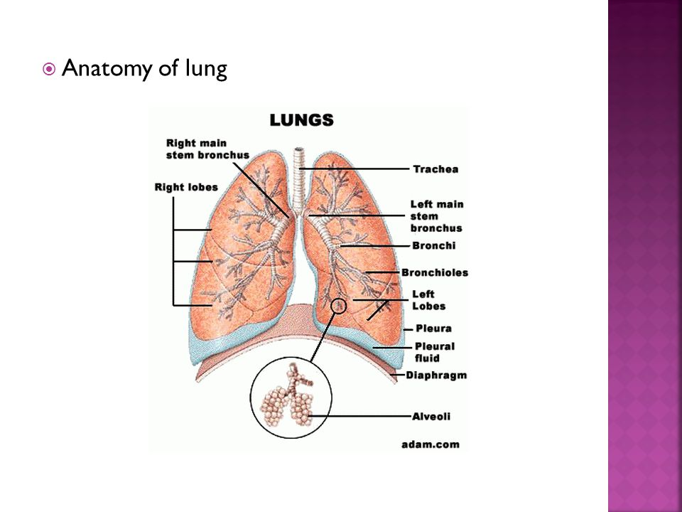Anatomy of lung