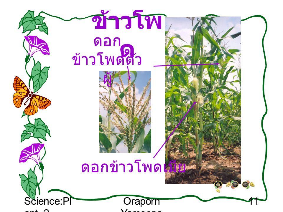 ข้าวโพด ดอกข้าวโพดตัวผู้ ดอกข้าวโพดเมีย Science:Plant_2