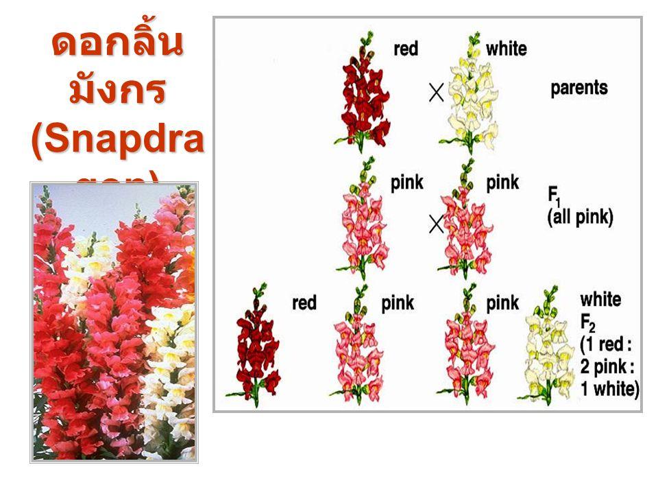 ดอกลิ้นมังกร (Snapdragon)