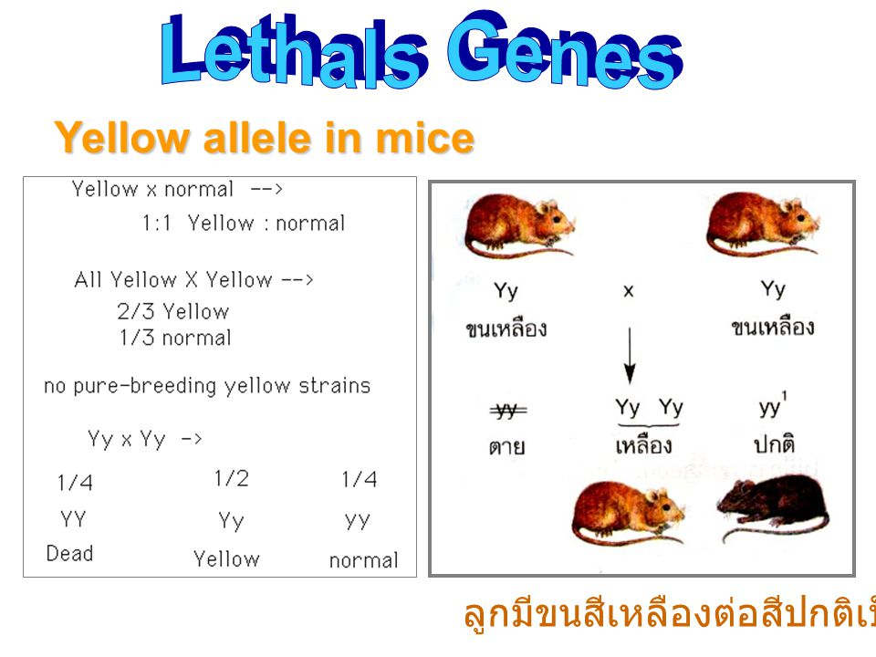 Lethals Genes Yellow allele in mice ลูกมีขนสีเหลืองต่อสีปกติเป็น 2 : 1