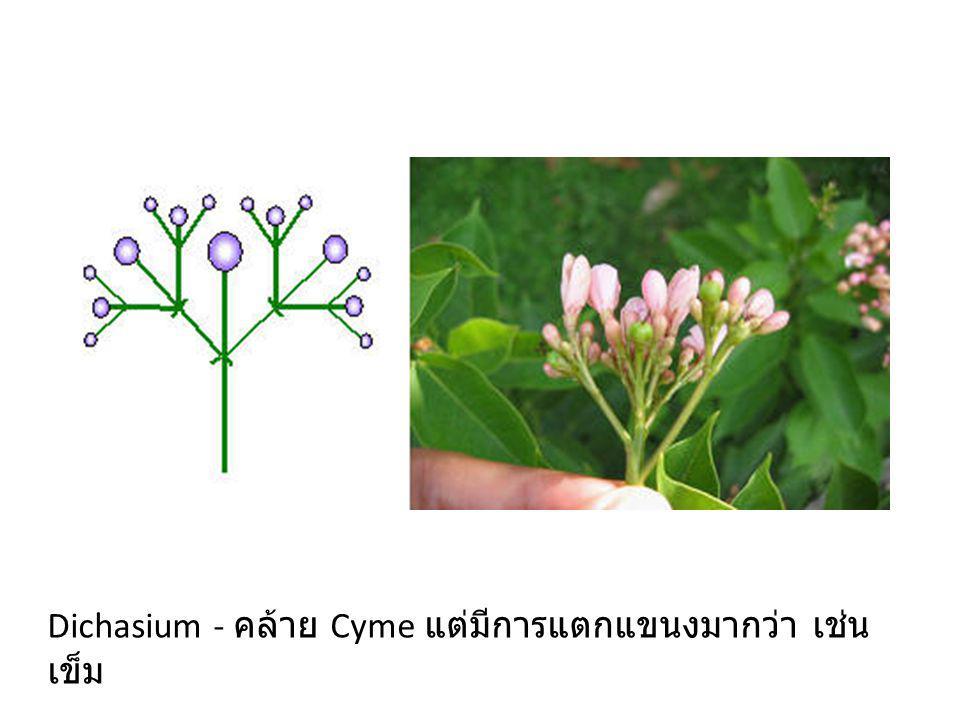 Dichasium - คล้าย Cyme แต่มีการแตกแขนงมากว่า เช่น เข็ม