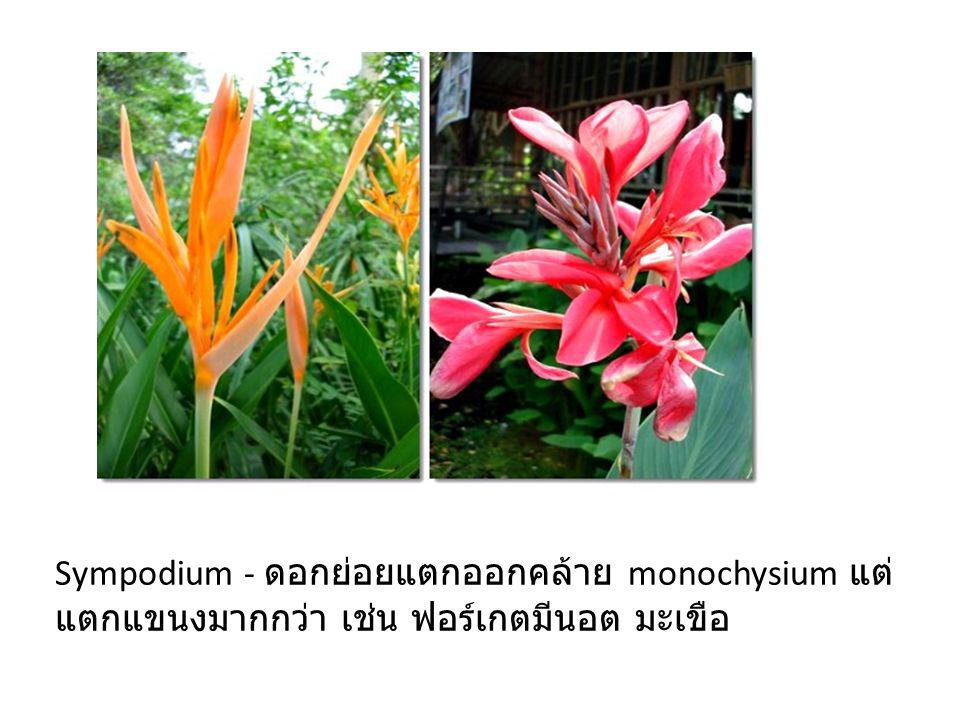Sympodium - ดอกย่อยแตกออกคล้าย monochysium แต่แตกแขนงมากกว่า เช่น ฟอร์เกตมีนอต มะเขือ