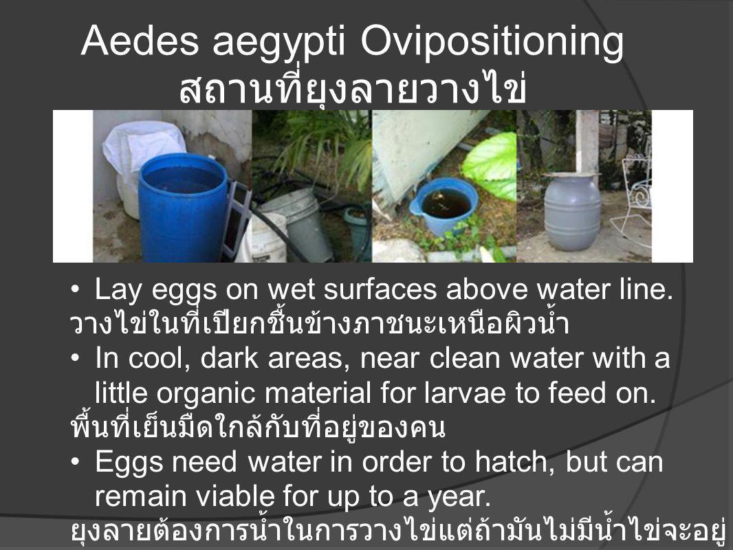 Aedes aegypti Ovipositioning สถานที่ยุงลายวางไข่
