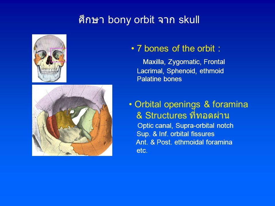 ศึกษา bony orbit จาก skull