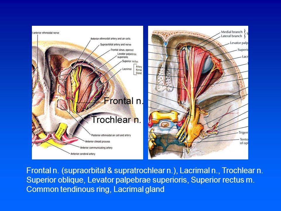 Frontal n. (supraorbital & supratrochlear n. ), Lacrimal n