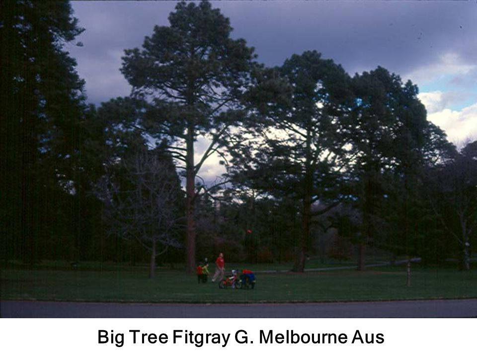 Big Tree Fitgray G. Melbourne Aus