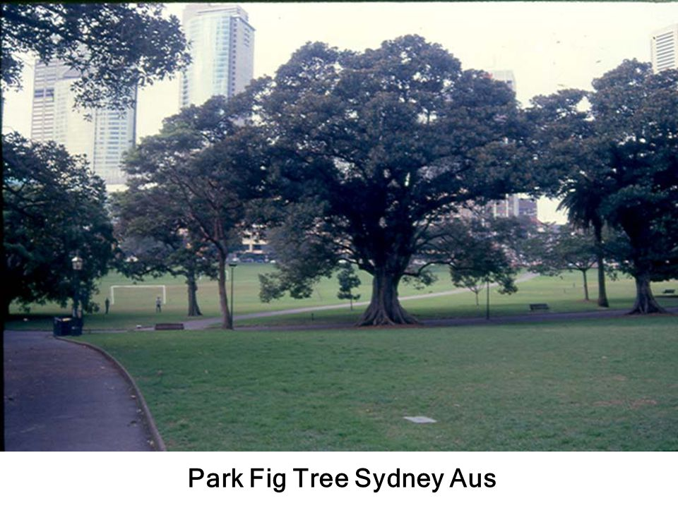 Park Fig Tree Sydney Aus