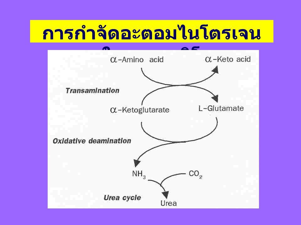 การกำจัดอะตอมไนโตรเจนในกรดอะมิโน