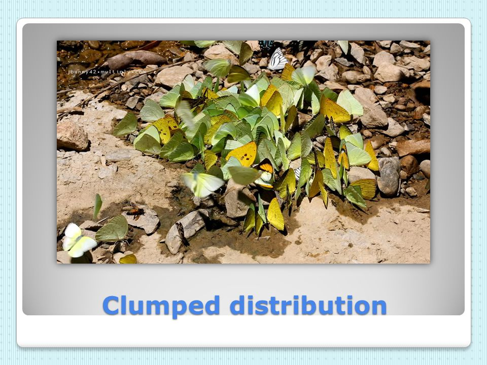 Clumped distribution
