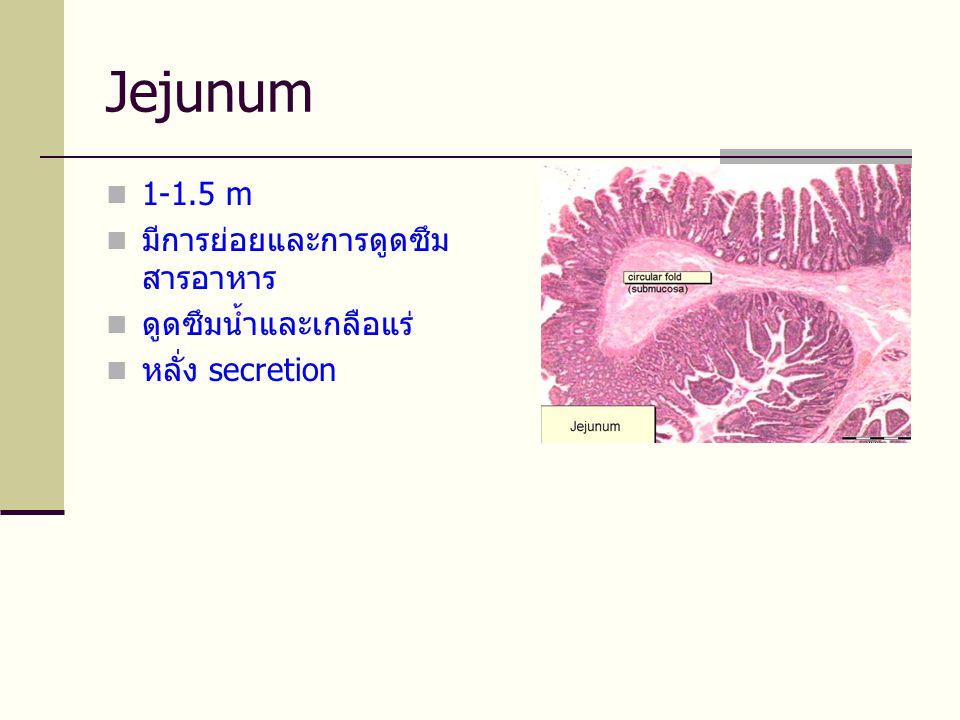 Jejunum 1-1.5 m มีการย่อยและการดูดซึมสารอาหาร ดูดซึมน้ำและเกลือแร่