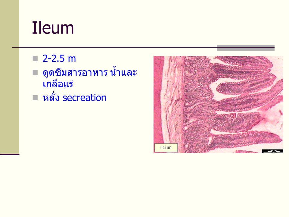 Ileum 2-2.5 m ดูดซึมสารอาหาร น้ำและเกลือแร่ หลั่ง secreation