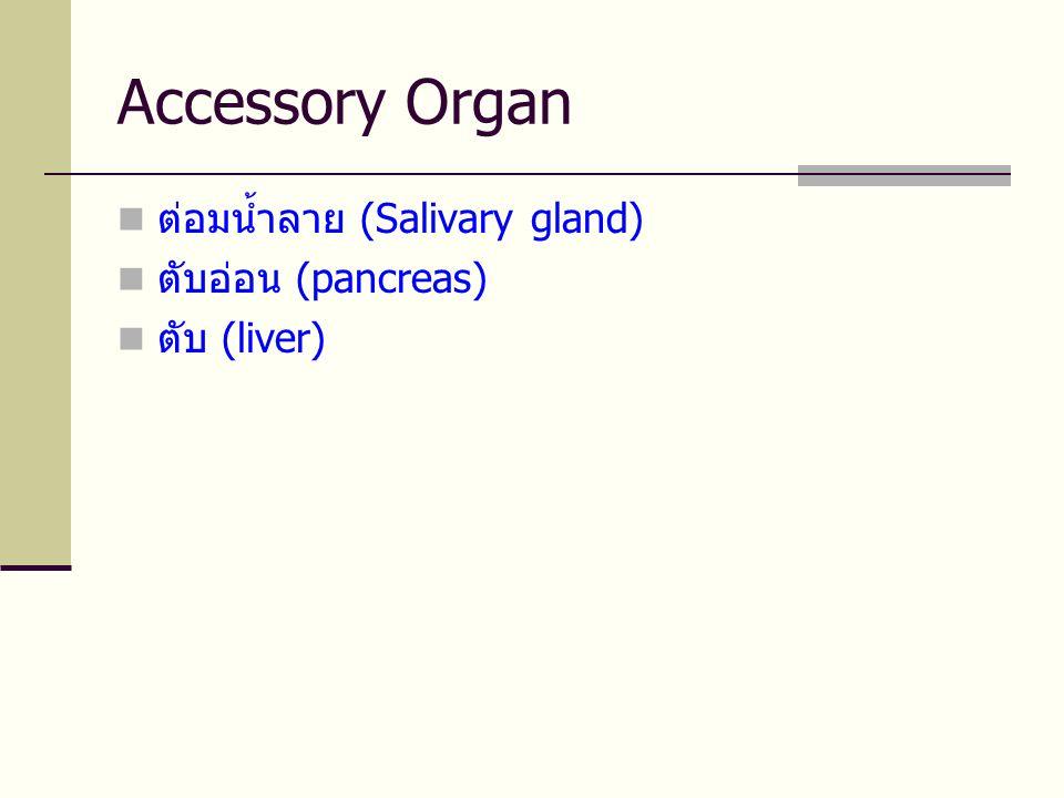 Accessory Organ ต่อมน้ำลาย (Salivary gland) ตับอ่อน (pancreas)