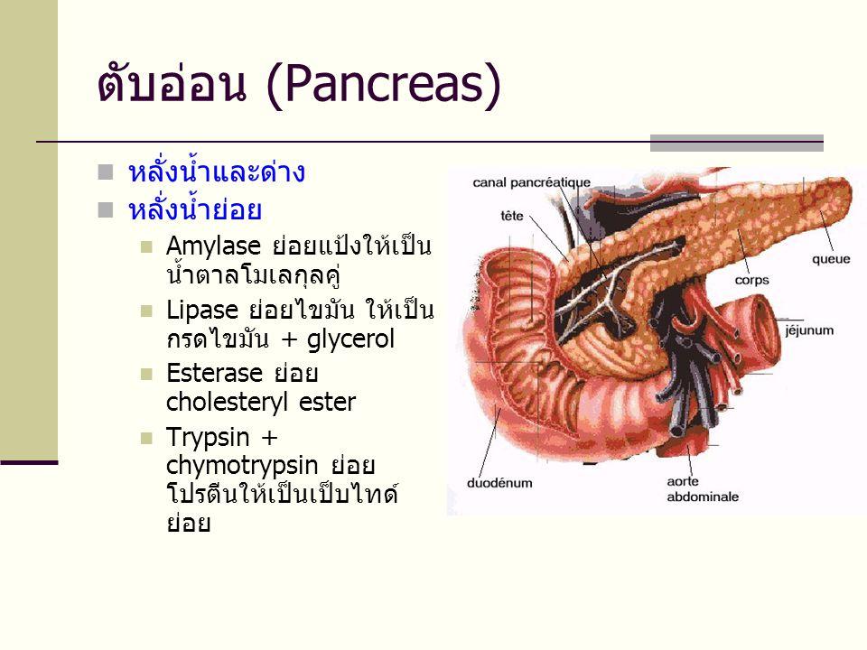 ตับอ่อน (Pancreas) หลั่งน้ำและด่าง หลั่งน้ำย่อย