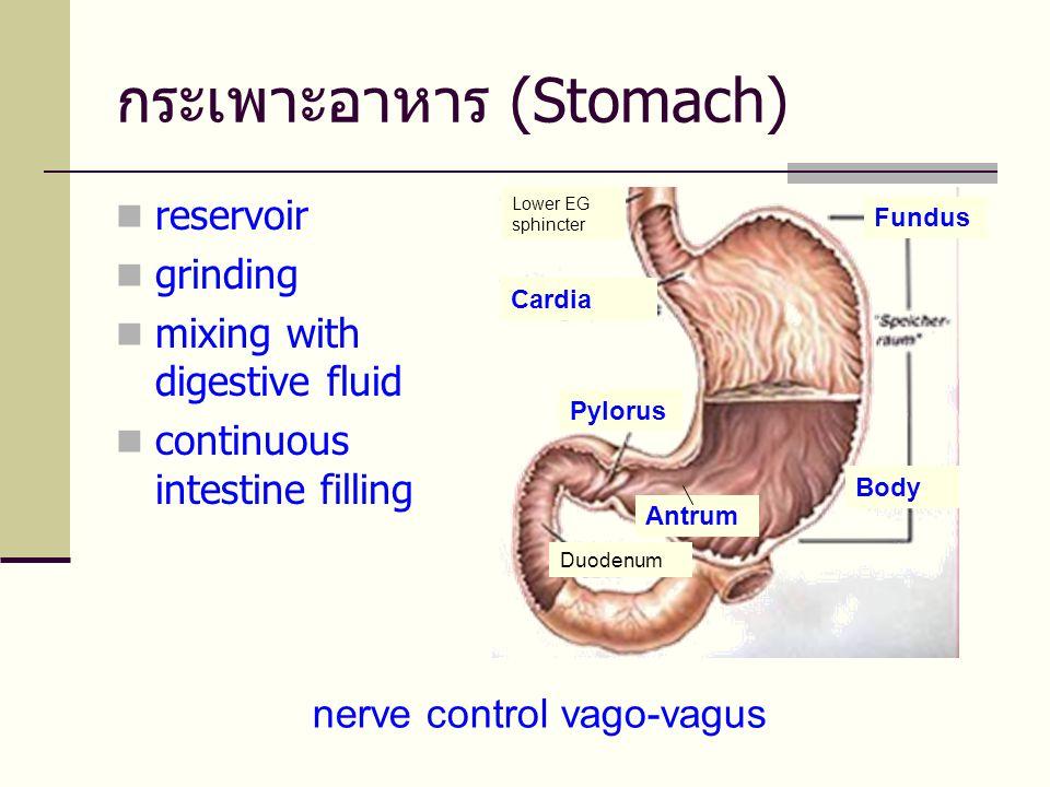 กระเพาะอาหาร (Stomach)