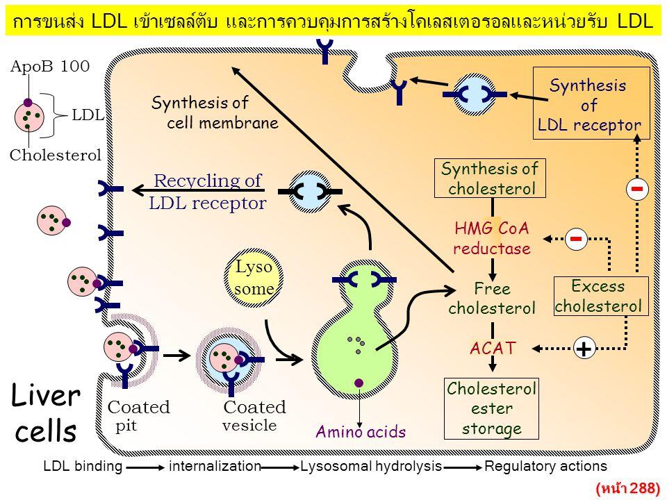 การขนส่ง LDL เข้าเซลล์ตับ และการควบคุมการสร้างโคเลสเตอรอลและหน่วยรับ LDL