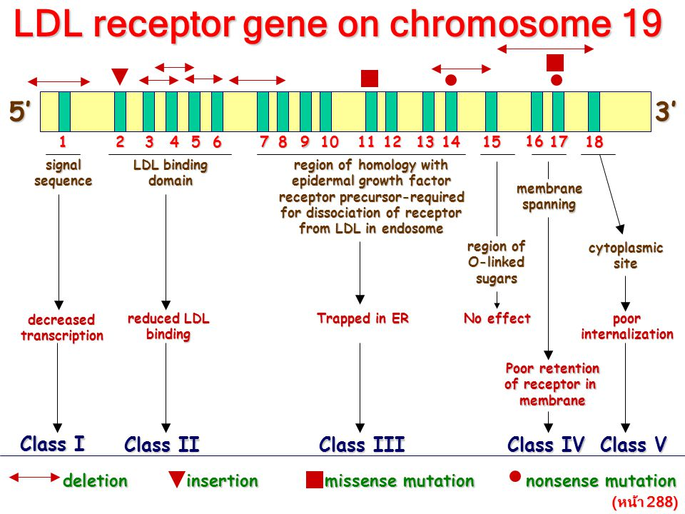 LDL receptor gene on chromosome 19