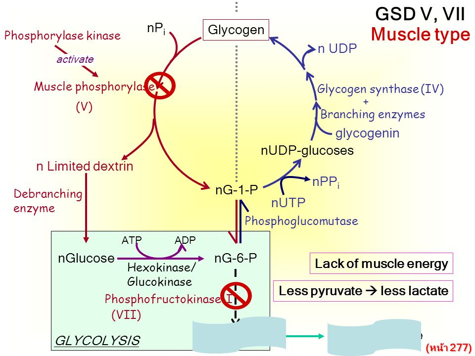 GSD V, VII Muscle type nPi Glycogen n UDP glycogenin nUDP-glucoses