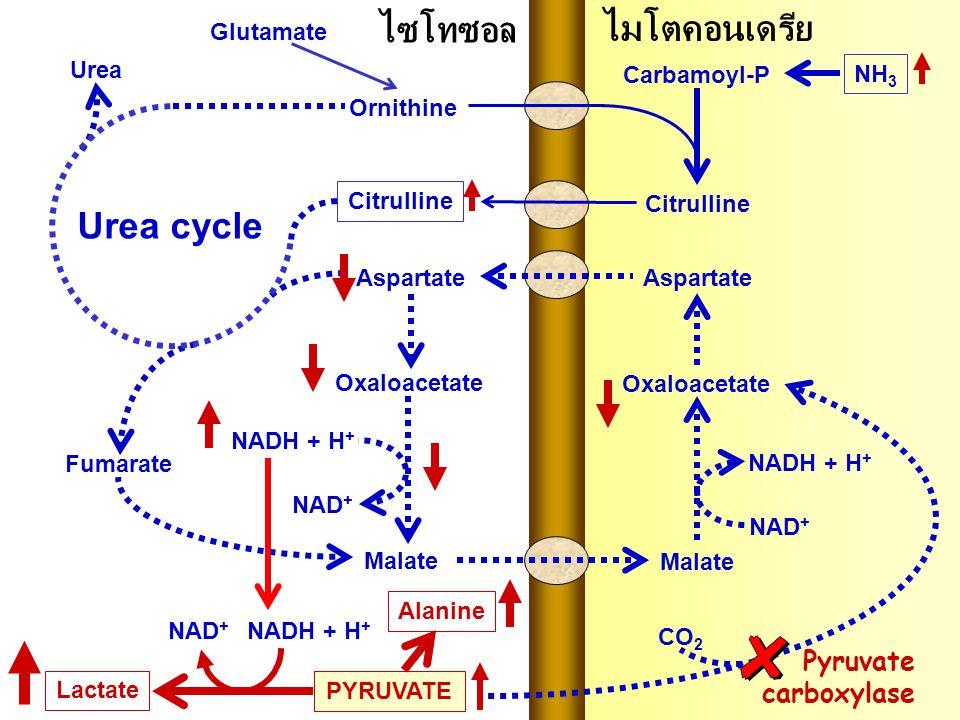 ไซโทซอล ไมโตคอนเดรีย Urea cycle Pyruvate carboxylase Glutamate Urea