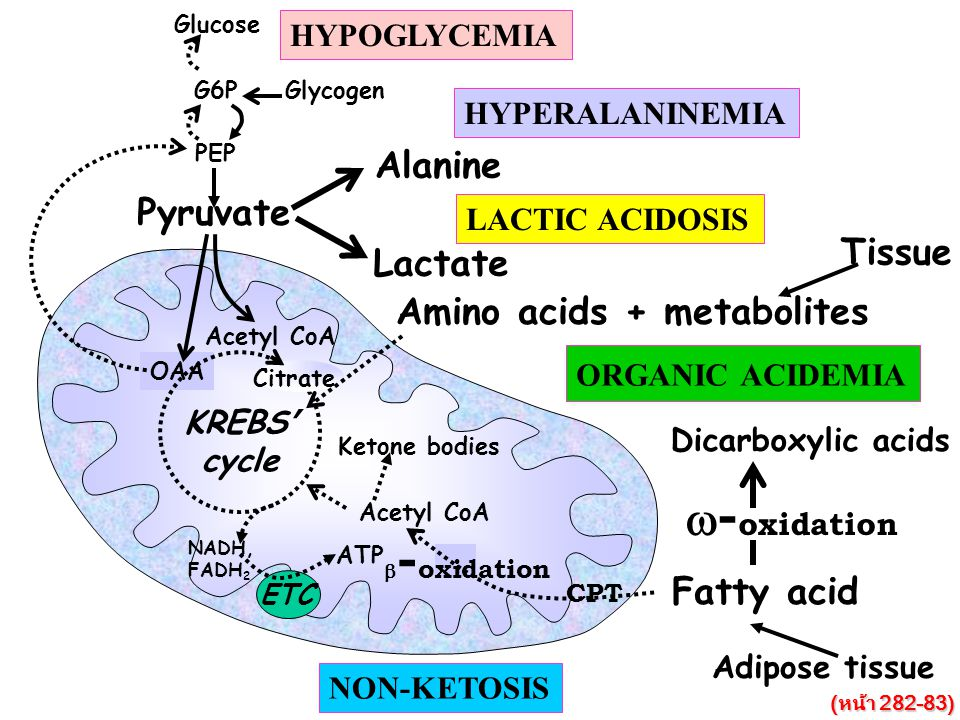 w-oxidation Alanine Pyruvate Tissue Lactate Amino acids + metabolites