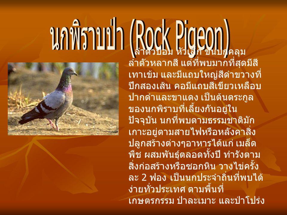 นกพิราบป่า (Rock Pigeon)