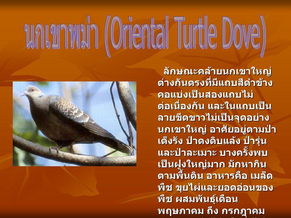 นกเขาพม่า (Oriental Turtle Dove)