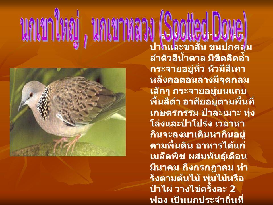 นกเขาใหญ่ , นกเขาหลวง (Spotted Dove)