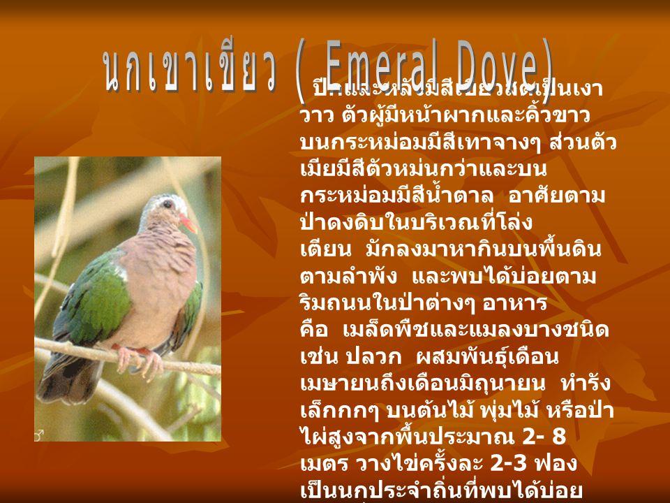 นกเขาเขียว ( Emeral Dove)