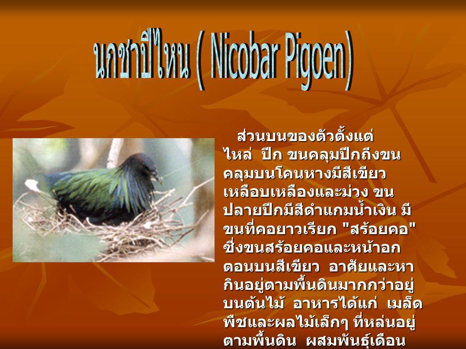 นกชาปีไหน ( Nicobar Pigoen)