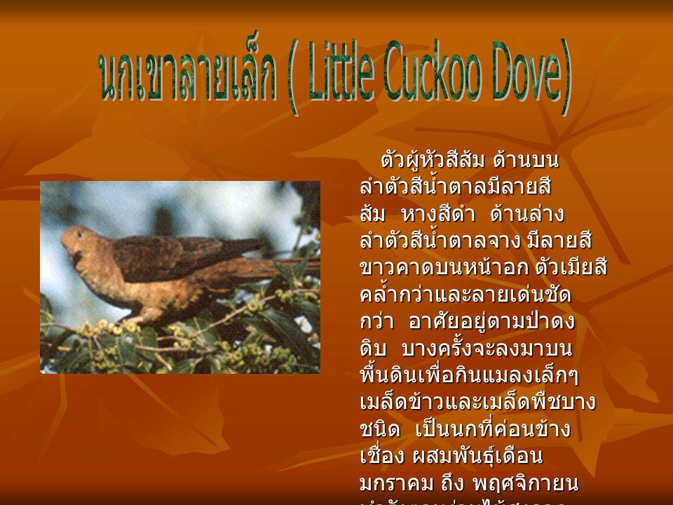 นกเขาลายเล็ก ( Little Cuckoo Dove)