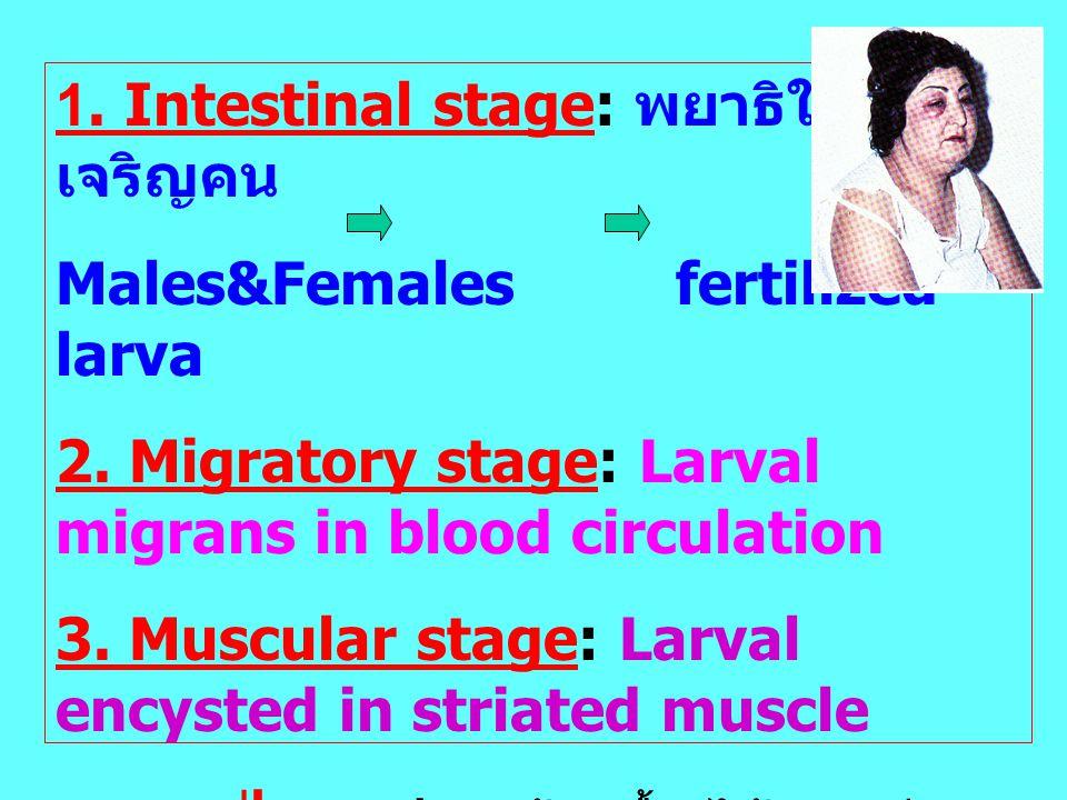 1. Intestinal stage: พยาธิในลำไส้เจริญคน