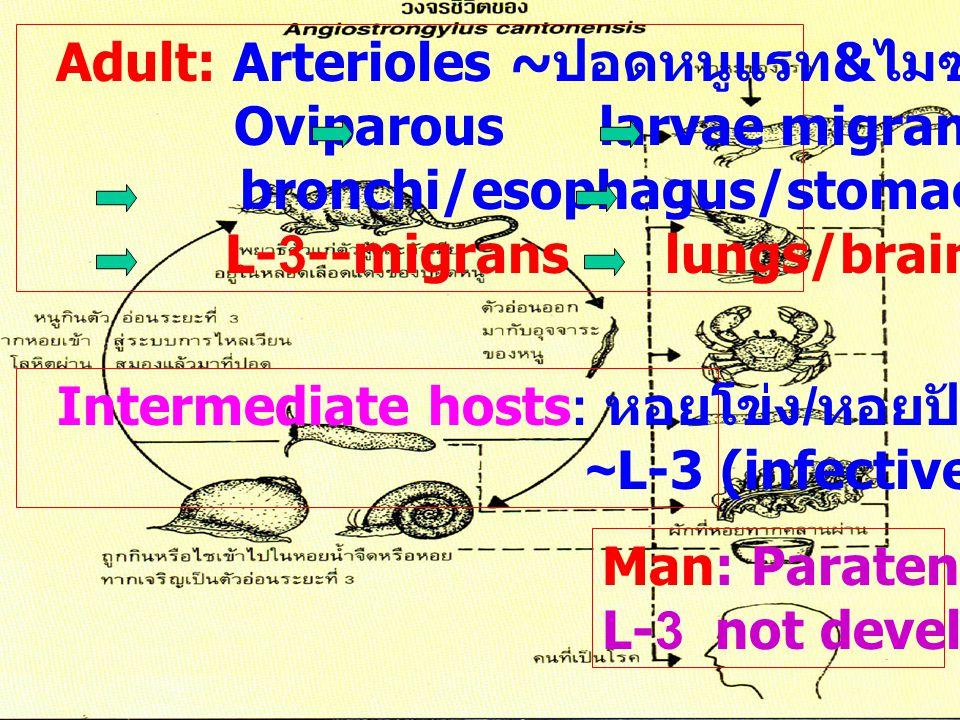 Adult: Arterioles ~ปอดหนูแรท&ไมซ์
