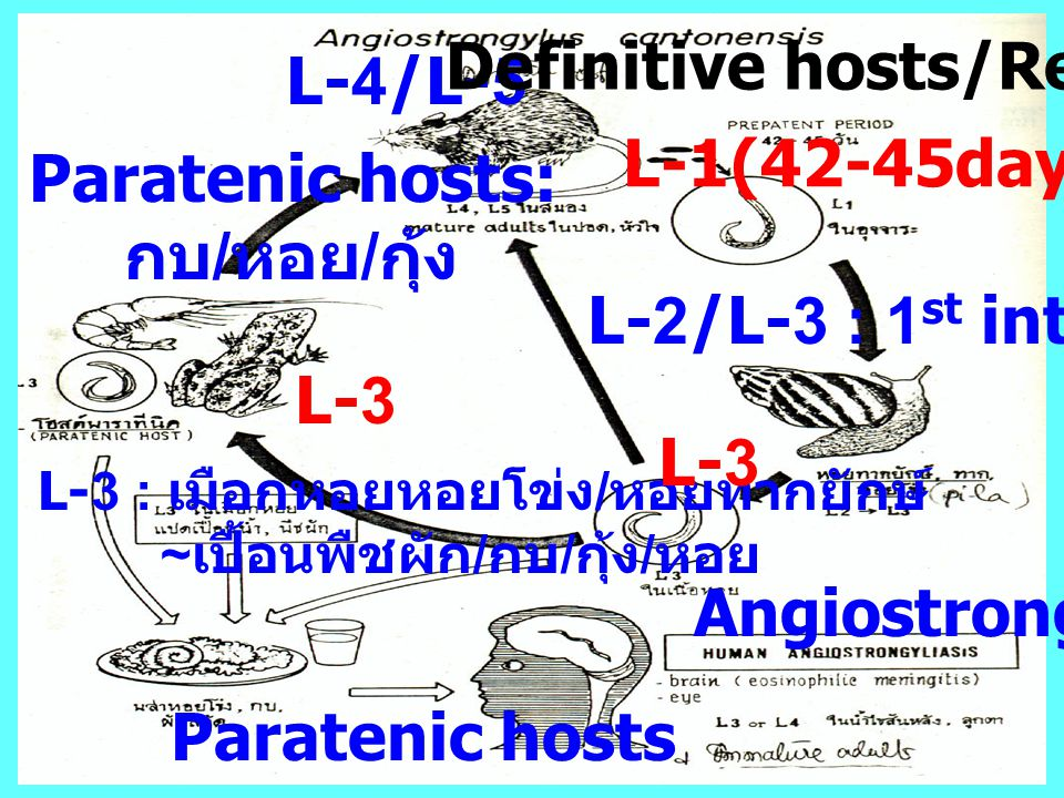Definitive hosts/Reservoir L-4/L-5 L-1(42-45days) Paratenic hosts: