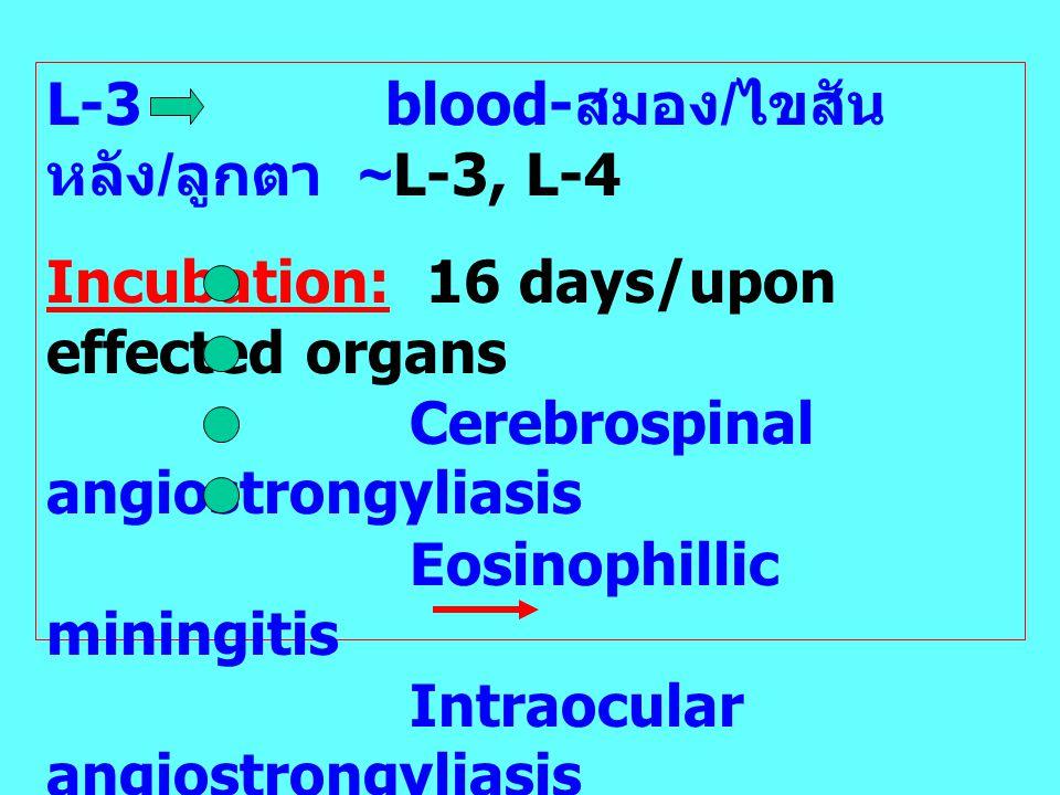 L-3 blood-สมอง/ไขสันหลัง/ลูกตา ~L-3, L-4