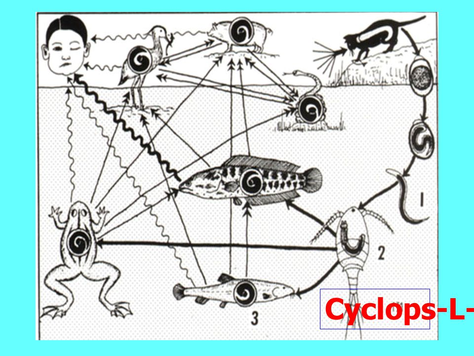 Cyclops-L-3