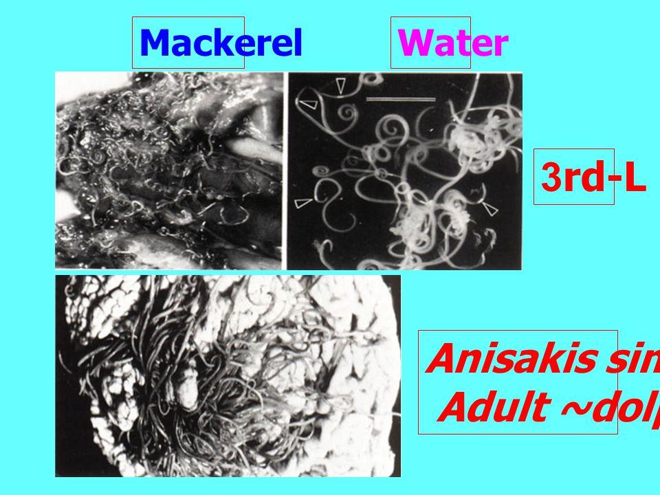 Mackerel Water 3rd-L Anisakis simplex Adult ~dolphin