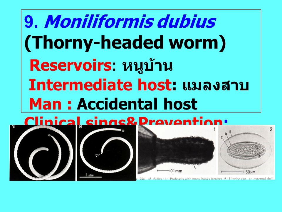 Reservoirs: หนูบ้าน 9. Moniliformis dubius (Thorny-headed worm)