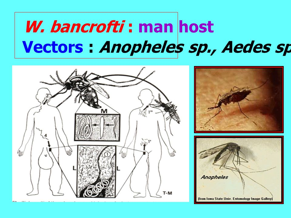 W. bancrofti : man host Vectors : Anopheles sp., Aedes sp..