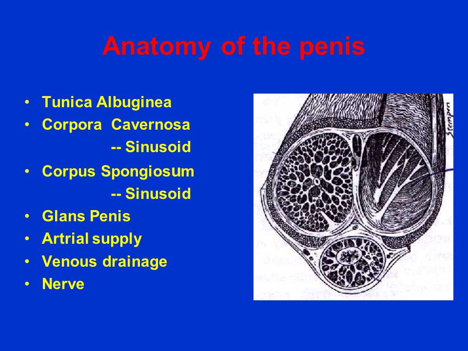 Anatomy of the penis Tunica Albuginea Corpora Cavernosa -- Sinusoid
