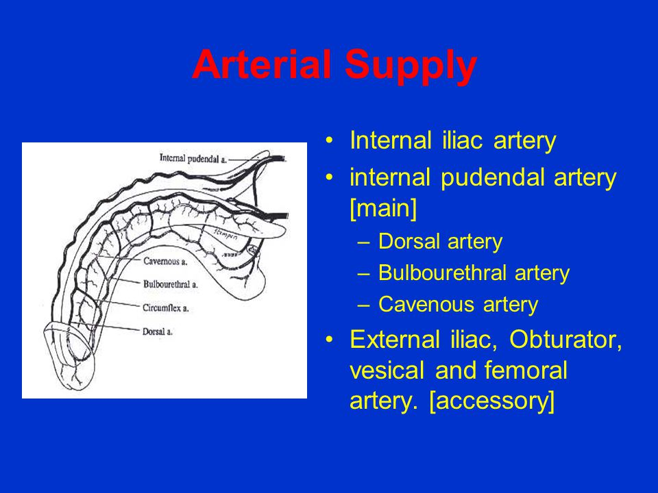 Arterial Supply Internal iliac artery internal pudendal artery [main]