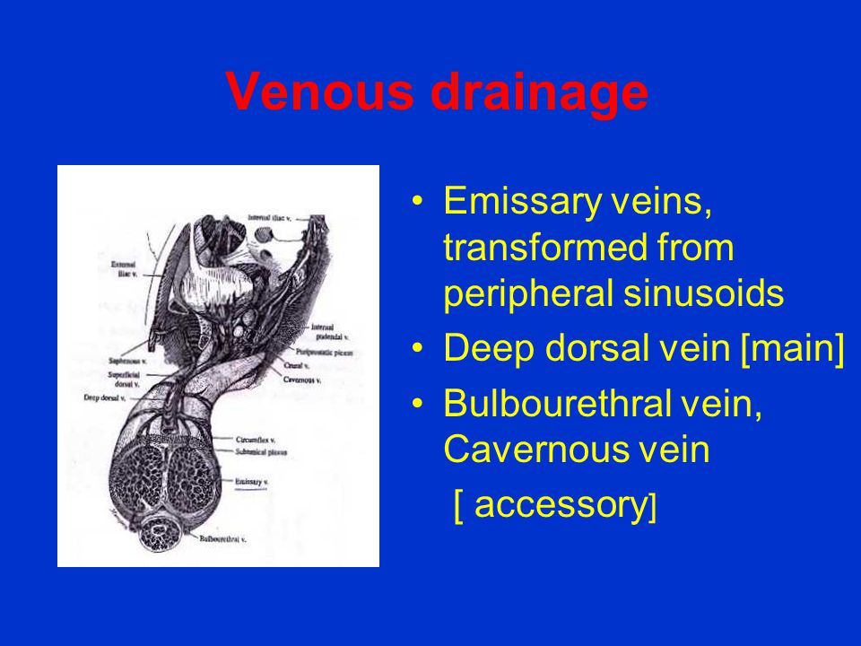 Venous drainage Emissary veins, transformed from peripheral sinusoids
