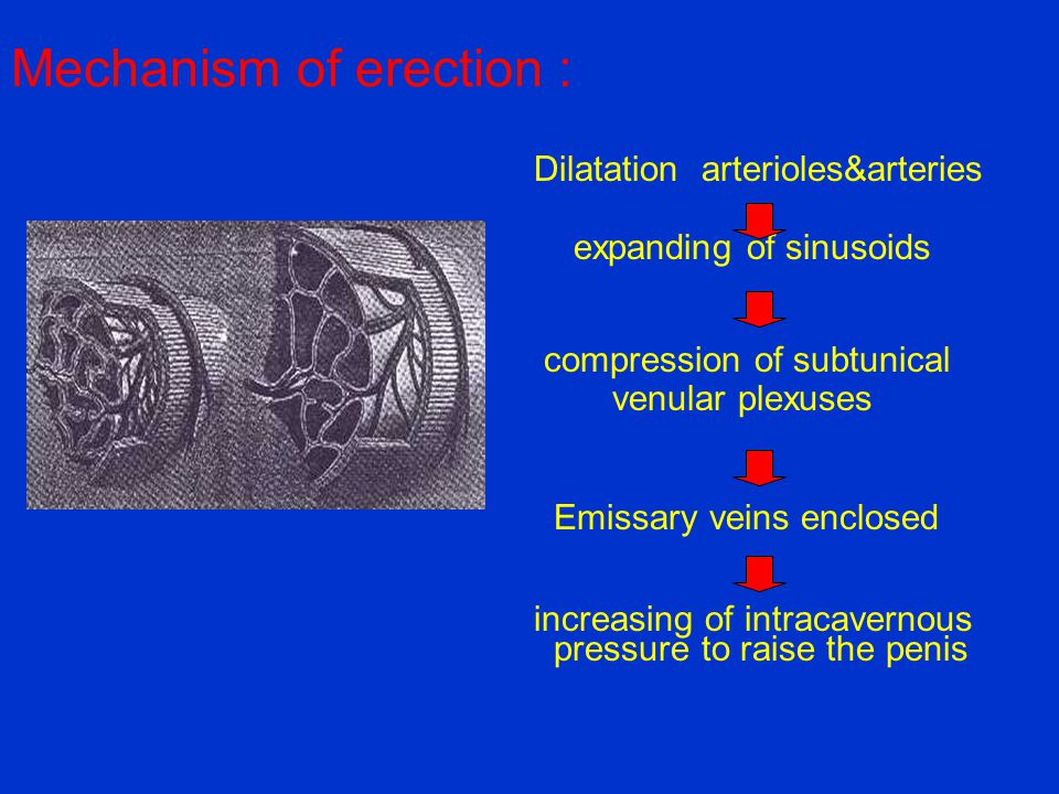 Mechanism of erection :