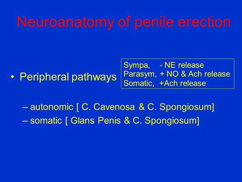 Neuroanatomy of penile erection