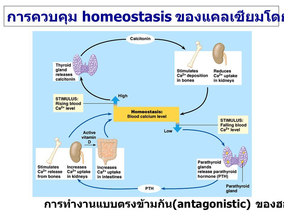 การควบคุม homeostasis ของแคลเซียมโดย PTH และ Calcitonin