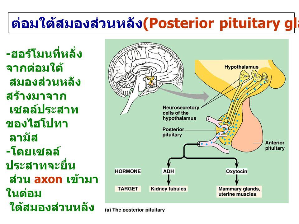 ต่อมใต้สมองส่วนหลัง(Posterior pituitary gland or neurohypophysis)