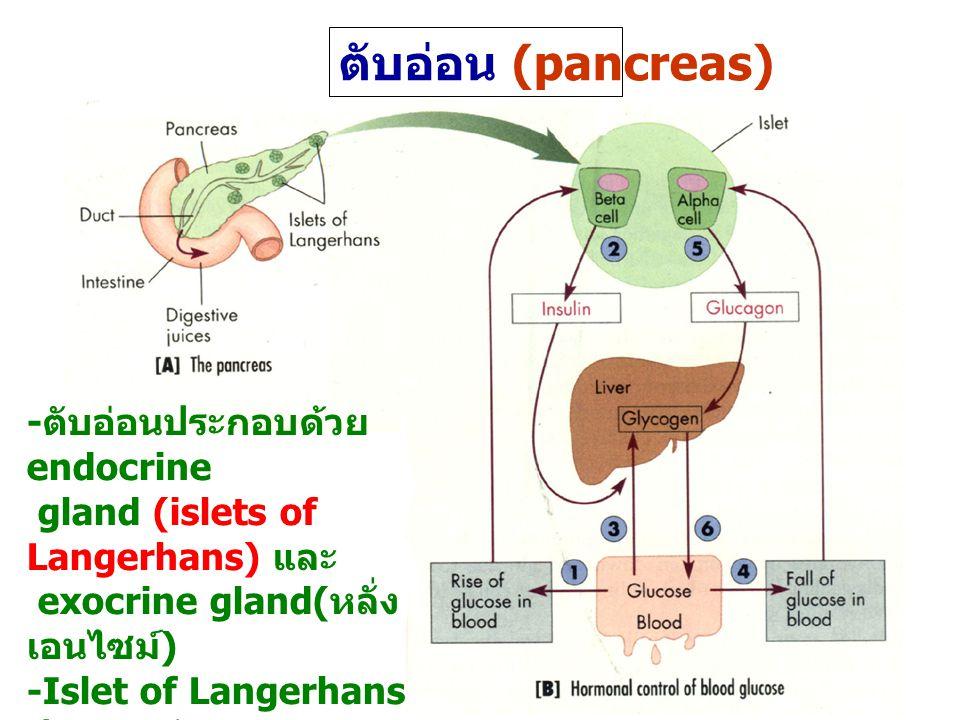 ตับอ่อน (pancreas) -ตับอ่อนประกอบด้วยendocrine