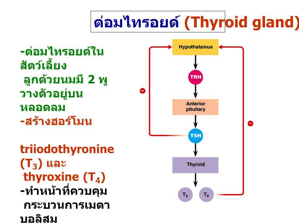 ต่อมไทรอยด์ (Thyroid gland)