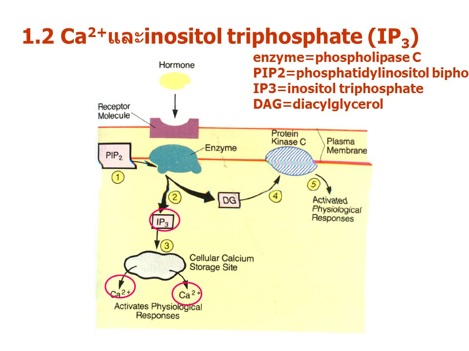 1.2 Ca2+และinositol triphosphate (IP3)