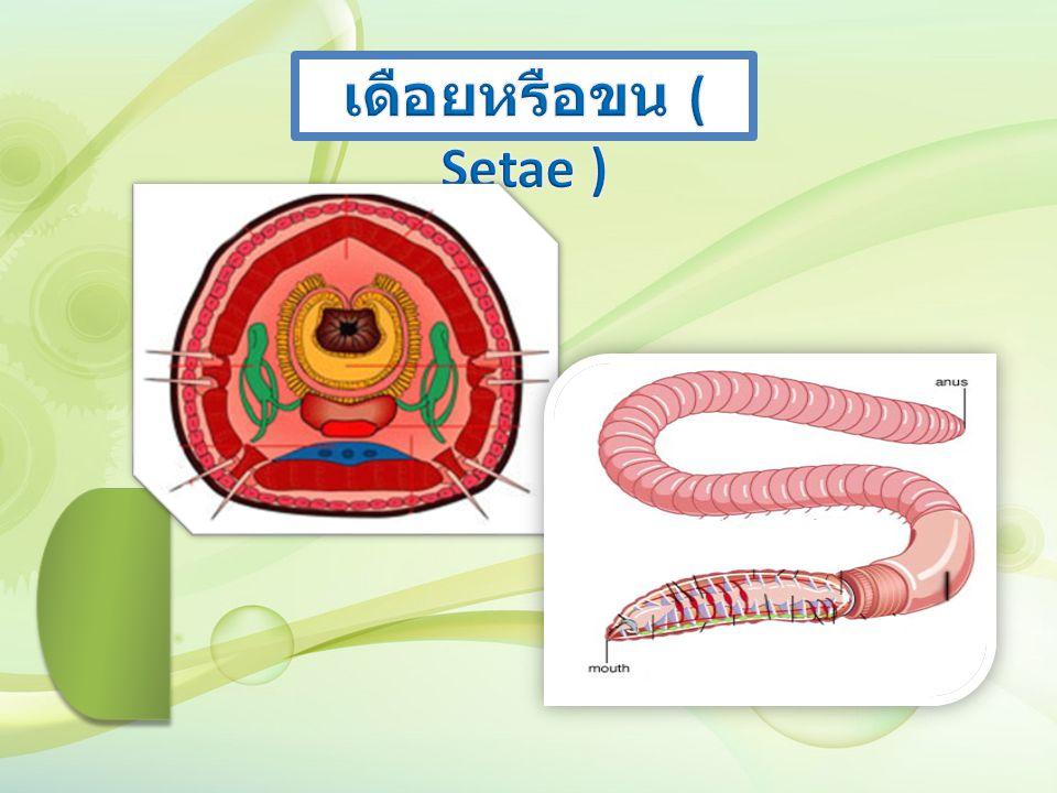 เดือยหรือขน ( Setae )