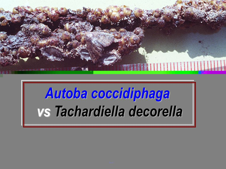 vs Tachardiella decorella